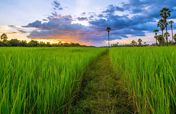 Siem Reap Sunset Dinner Tour at Rice Paddy Fields
